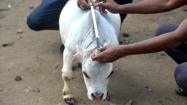 Rani, sapi kerdil di Bangladesh