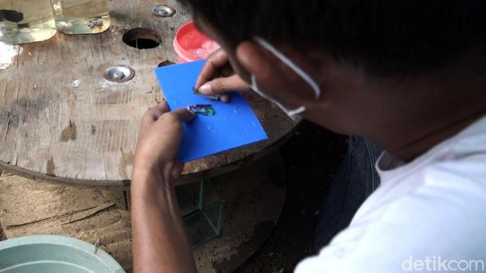 Komunitas Cupang Maros (KCM) di Maros, Sulawesi Selatan membuat salon khusus ikan cupang. Cupang itu dirias untuk diikutkan dalam kontes.