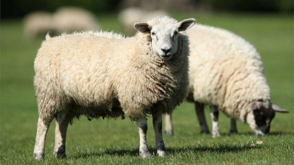 Peternak Selandia Baru Dihukum karena Biarkan Ratusan Domba Sakit
