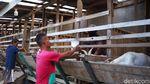 Diklaim Tingkatkan Imun, Susu Kambing di Purwakarta Jadi Buruan