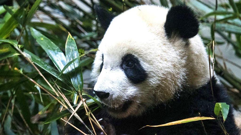 China Berhasil Buat Panda Tak Lagi Terancam Punah Walau Masih Rentan