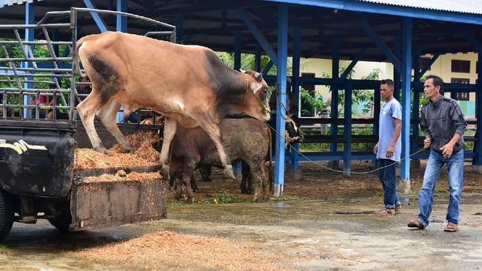 Penjual mengawasi sapi kurban yang dijualnya di Kecamatan Somba Opu, Kabupaten Gowa, Sulawesi Selatan, Sabtu (10/7/2021). Menurut pedagang, penjualan sapi kurban tersebut mengalami penurunan disebabkan harga sapi yang naik dan juga daya beli masyarakat yang menurun akibat pandemi COVID-19. ANTARA FOTO/Abriawan Abhe/aww.