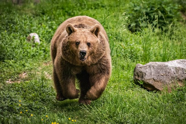"""Mau Ketawa tapi Dosa, Kakek Ini Diserang Beruang Malah Nanya """"Siapa Kamu!"""""""