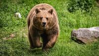 Mau Ketawa tapi Dosa, Kakek Ini Diserang Beruang Malah Nanya Siapa Kamu!