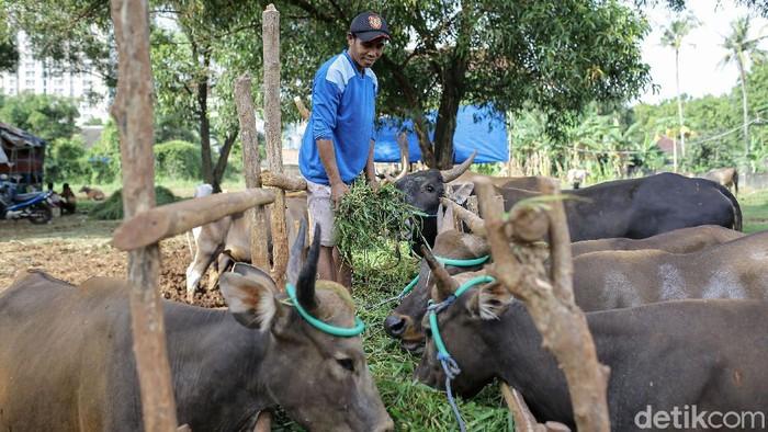 Penjualan hewan kurban tahun ini mengalami penurunan. Hal ini diakibatkan oleh terjadinya pandemi yang sedang melanda Indonesia.