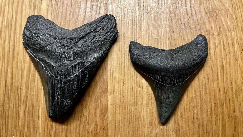 Fosil Gigi Megalodon