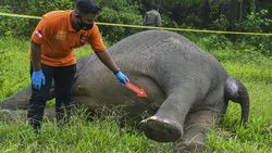 Siapa Tega Racuni Gajah hingga Tewas Tanpa Kepala?