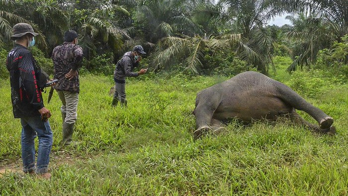 Bangkai seekor gajah Sumatera ditemukan di kawasan perkebunan sawit yang ada di Aceh. Gajah itu ditemukan mati tanpa kepala.