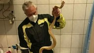 Tragis! Mr.P Kakek 65 Tahun Digigit Ular Piton