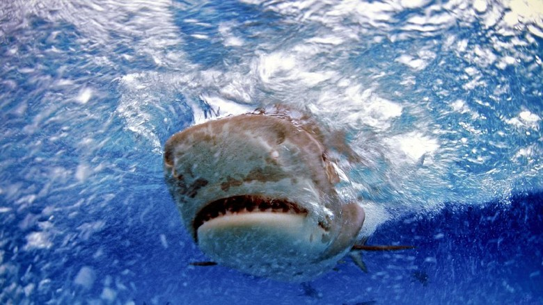 Photographic slide and close-up view of a tiger shark swimming in the Bahamas