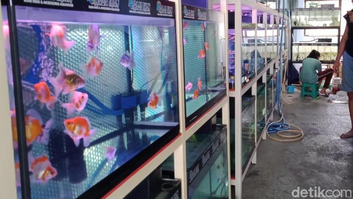 Pedagang ikan hias di Klaten terdampak kelangkaan oksigen, Selasa (13/7/2021).