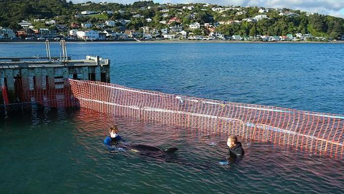 Seekor anak paus Orca terdampar di Plimmerton, Selandia Baru. Anak paus itu ditemukan tersangkut di bebatuan dekat Plimmerton.