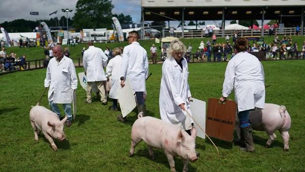 Seekor babi dibawa ke arena penjurian pada hari pertama Pertunjukan Great Yorkshire ke-162, yang berlangsung di Harrogate Show Ground, Inggris, Selasa (13/07/2021).