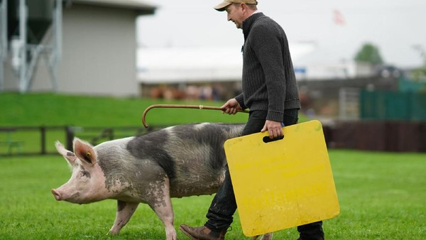 Seekor babi dilatih sebelum mengikuti perlombaan di arena penjurian.