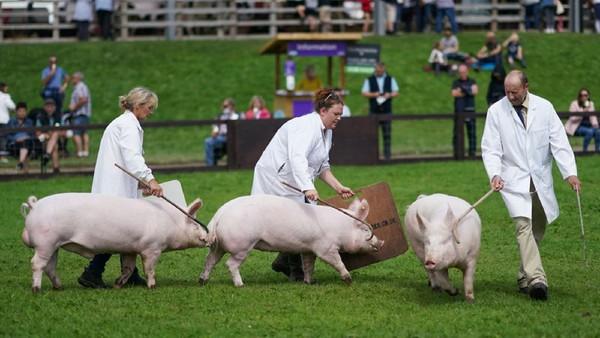 Babi digiring mengelilingi arena penjurian pada hari pertama Pertunjukan Great Yorkshire ke-162 di Harrogate Showground, Inggris.