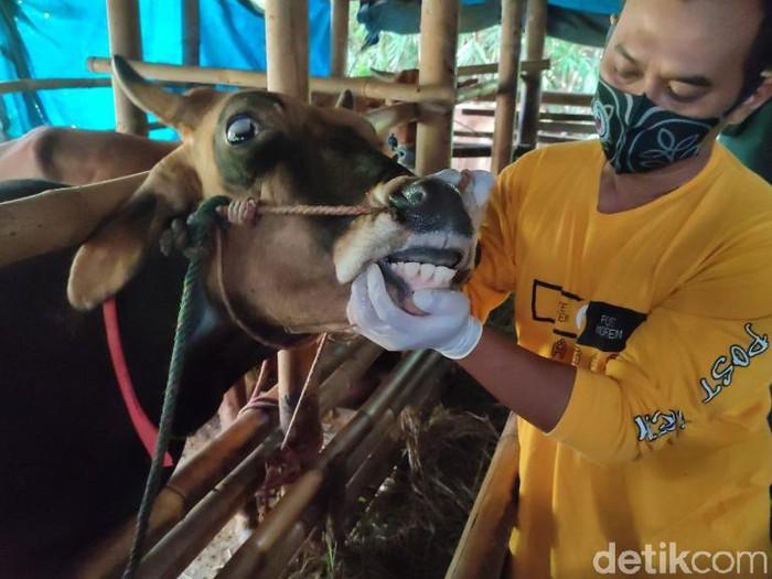 1.600 sapi di Ciamis tak layak kurban