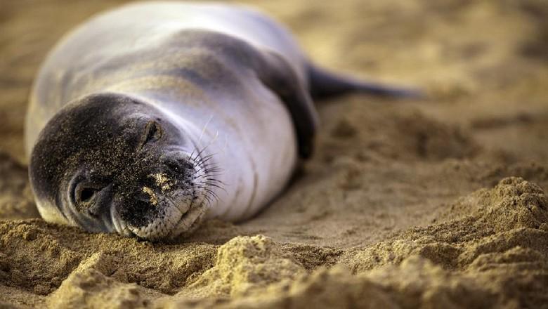 Hawaiian monk seal, anjing laut langka di Hawaii