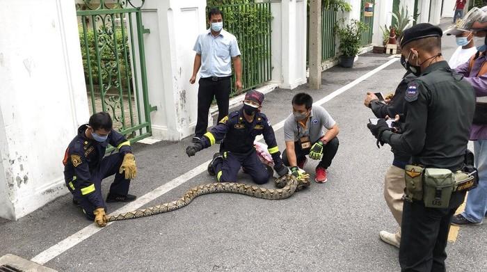 Seekor ular sanca batik sepanjang 2 meter terlihat di Taman Kota Benjasiri, Bangkok. Lonjakan Corona berimbas lockdown di Thailand membuat ular keluar dari sarang.