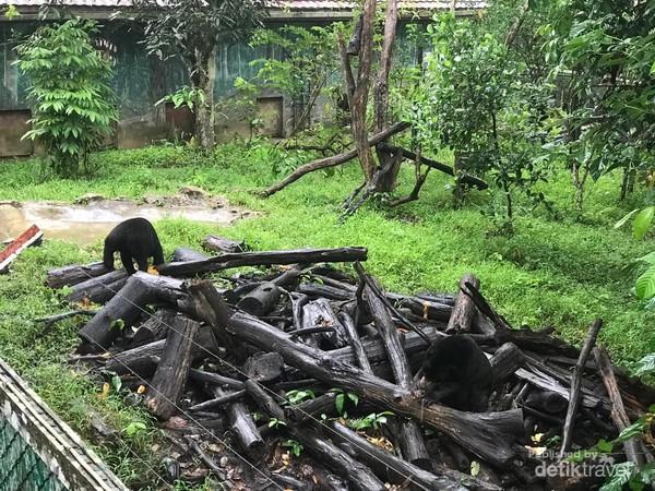 Beruang madu saat diberi makan