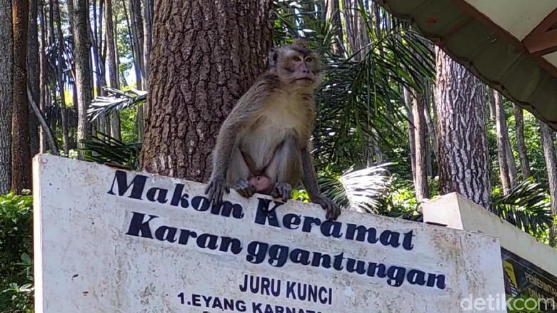 Monyet ekor panjang di Karang Gantungan, Bandung