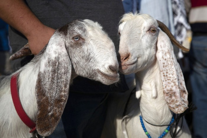 Jelang perayaan Idul Adha. sejumlah warga Palestina terlihat sibuk membeli hewan kurban di kawasan Nablus.