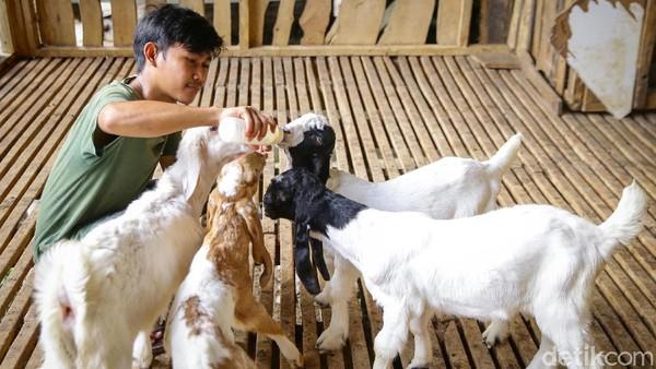 Tahun ini, Kampung Pepohonan 99 menyediakan 2.000 ekor sapi dan 1.000 ekor kambing.
