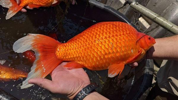 Beberapa ikan bahkan seukuran bola sepak. Begitu berbeda dengan ikan mas ukutan normal. (dok. City of Brunsville)