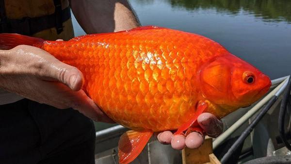Ikan mas yang dilepasliarkan di danau begitu saja ternyata bisa mempengaruhi ukurannya. (dok. City of Brunsville)