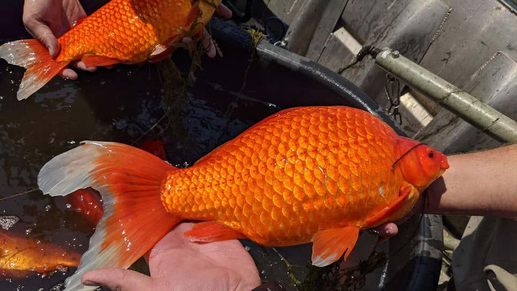 Wujud Ikan Mas Raksasa yang Dianggap Hama
