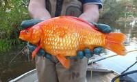 Ikan Mas Raksasa