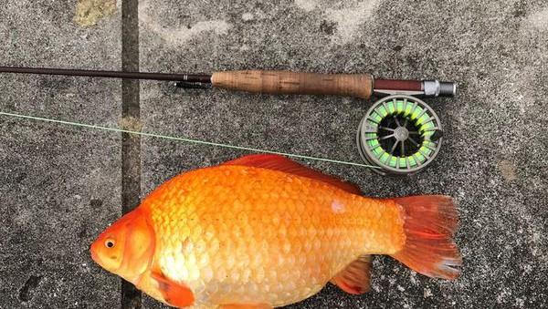 Minnesota jadi satu dari beberapa negara bagian yang memperingatkan untuk tidak membuang ikan mas (Twitter)