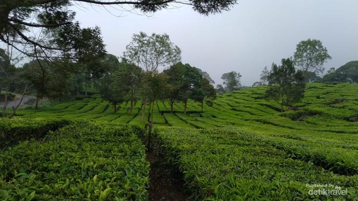 Keindahan hamparan kebun teh tak kalah dari pesona danaunya.