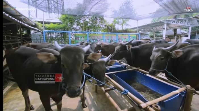 Punya Peternakan Sapi Terbesar di Jakarta, Pria Ini Kantongi Miliaran Rupiah