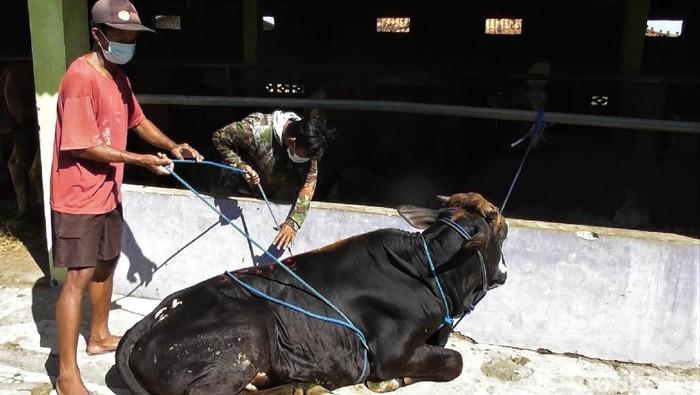 Proses penyembelihan hewan kurban kerap butuhkan banyak tenaga terlebih saat robohkan hewan. Namun ada lho cara mudah robohkan sapi tanpa berkerumun. Penasaran?