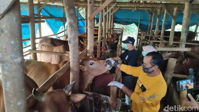 Penjualan sapi kurban di Ciamis