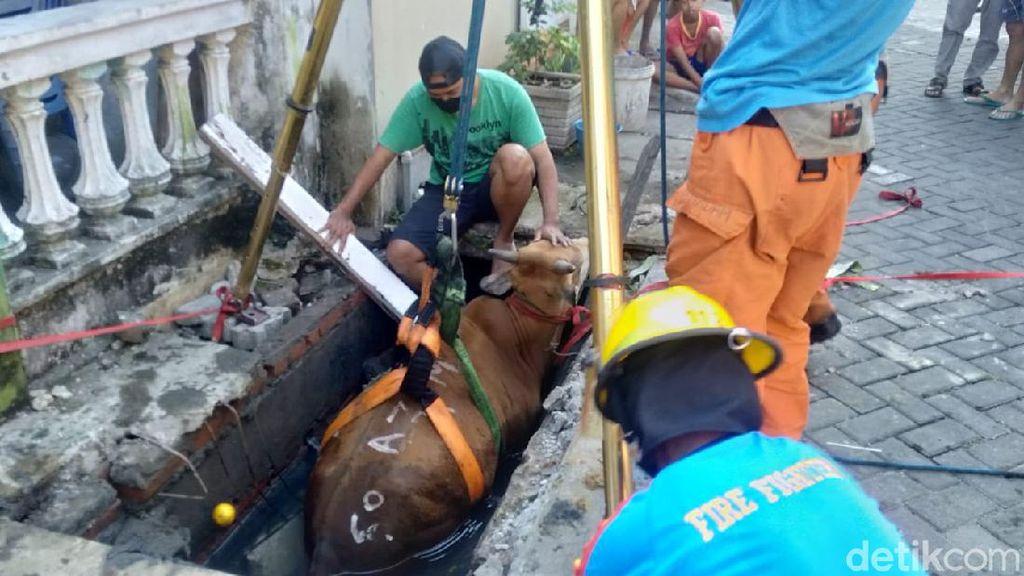 Detik-detik Sapi Kurban Brahman di Surabaya Dievakuasi dari Selokan