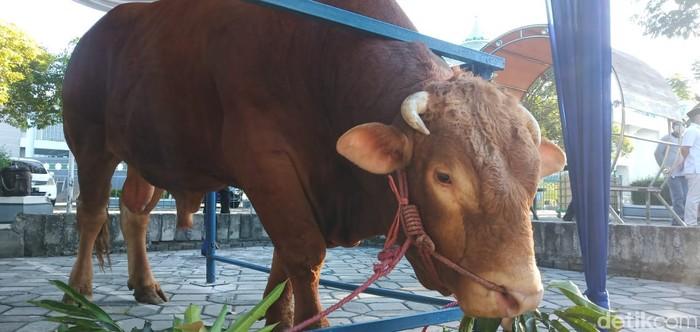 Presiden RI Joko Widodo menyumbang hewan kurban sapi di Masjid Al Akbar Surabaya. Sapi yang disumbang Jokowi berbobot 1.242 kg.