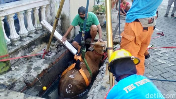 Seekor sapi yang hendak dikurbankan terperosok ke selokan di Surabaya. Sapi terperosok setelah penutup got pijakannya ambrol karena tak kuat menahan bobotnya.
