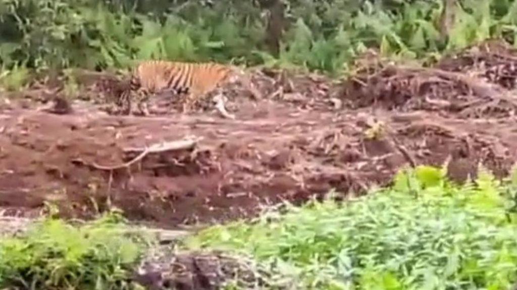 Harimau Tiba-tiba Muncul di Dekat Pekerja Sawit Inhil Riau
