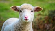 MasyaAllah! Ini 5 Keberkahan Daging Kambing dalam Islam
