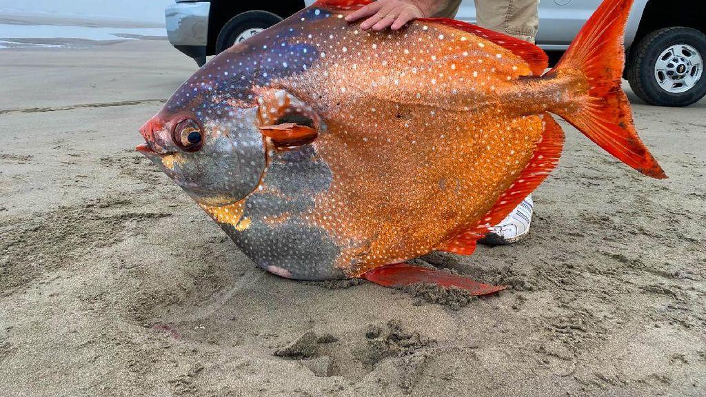 Ikan Jumbo Berwujud Tak Biasa Kejutkan Warga