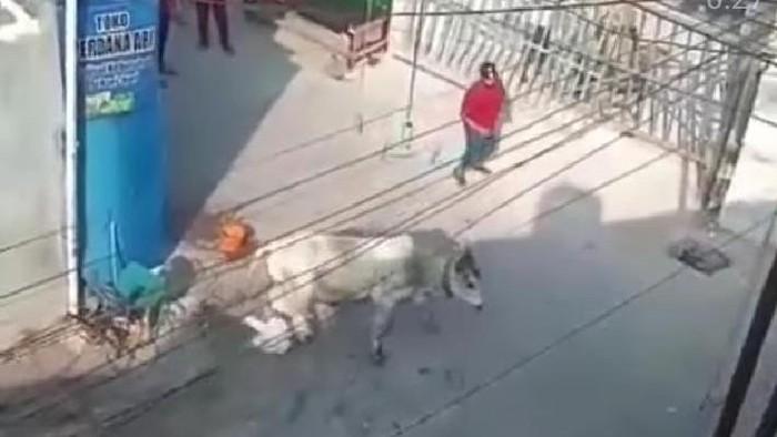 Penampakan sapi lepas dan mengamuk di Jaktim, Selasa (20/7/2021).