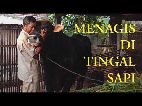 Viral seorang bapak yang menangis berpisah dengan sapi miliknya.