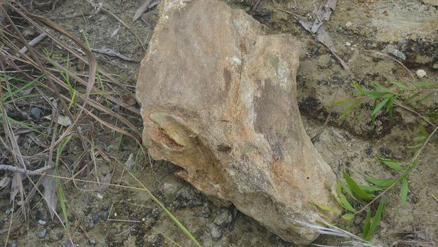 Fosil kayu batu akik Papua