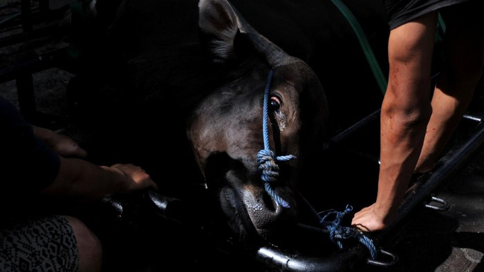 Panitia mengemas daging hewan kurban yang akan dibagikan di kawasan Padangsambian, Denpasar, Bali, Selasa (20/7/2021). Pemotongan hewan kurban saat Hari Raya Idul Adha 1442 H di kawasan tersebut dilakukan oleh panitia yang telah divaksin COVID-19 dengan jumlah terbatas dan menerapkan protokol kesehatan secara ketat, melarang masyarakat menonton penyembelihan dan membagikan daging kurban langsung ke tempat penerima untuk mencegah terjadinya kerumunan warga. ANTARA FOTO/Fikri Yusuf/wsj.