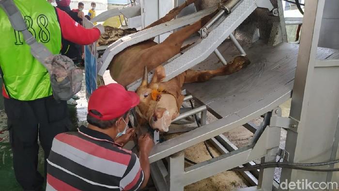 Rumah Pemotongan Hewan (RPH) di Kota Magelang pakai alat restraining box, Rabu (21/7/2021).