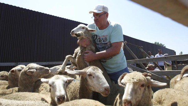 Warga juga berkurban dalam perayaan Idul Adha. Sebagian dari mereka mencari sendiri domba yang akan dikurbankan.
