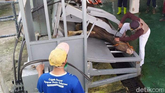Pemotongan sapi kurban Idul Adha di Rumah Potong Hewan (RPH) Kota Magelang, Jawa Tengah, menggunakan alat restraining box. Penasaran?