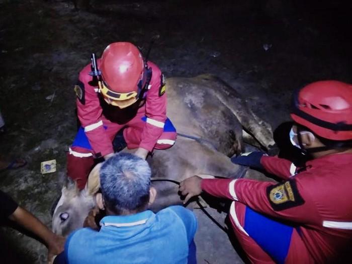 Tim Animal Rescue Damkar Klaten mengevakuasi sapi kurban yang lepas.