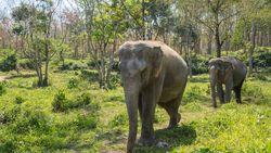 Mengharukan! Aksi Gajah Tuntun Kawannya yang Buta untuk Makan